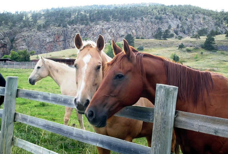 Horses at Sylvan Dale Guest Ranch in Loveland, Colorado