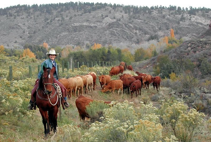 Moving cattle at Sylvan Dale Guest Ranch in Loveland, Colorado