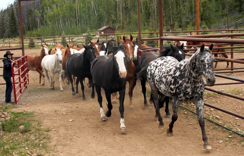Horses at Rawah Ranch in Glendevey, Colorado