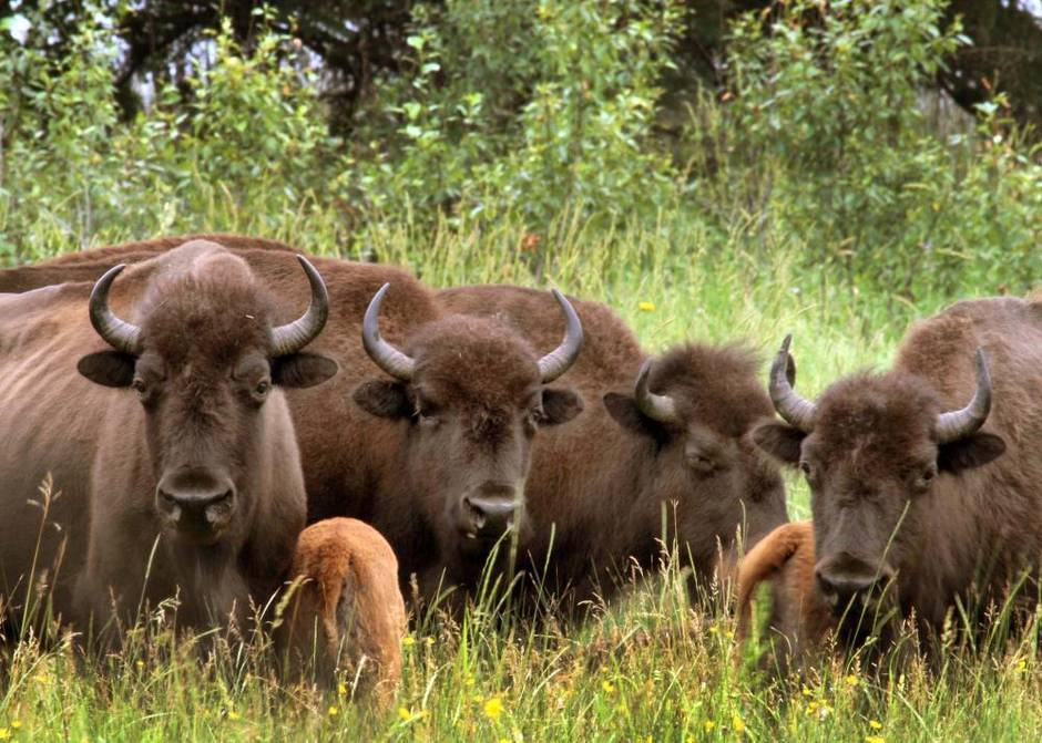 Bison Viewing at Sturgeon River Ranch in Canada