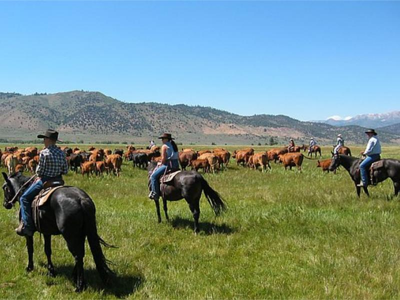 Hunewill Guest Ranches Cattle Drives in mountainous Bridgeport Valley of California