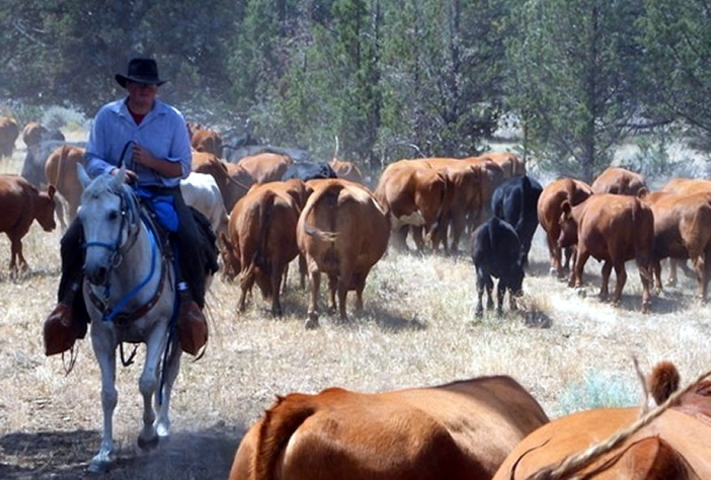 Cattle work at Long Hollow Ranch in Oregon