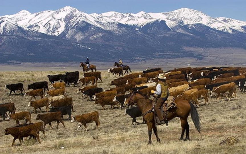 Moving cattle at Music Meadows Ranch in Westcliffe, Colorado